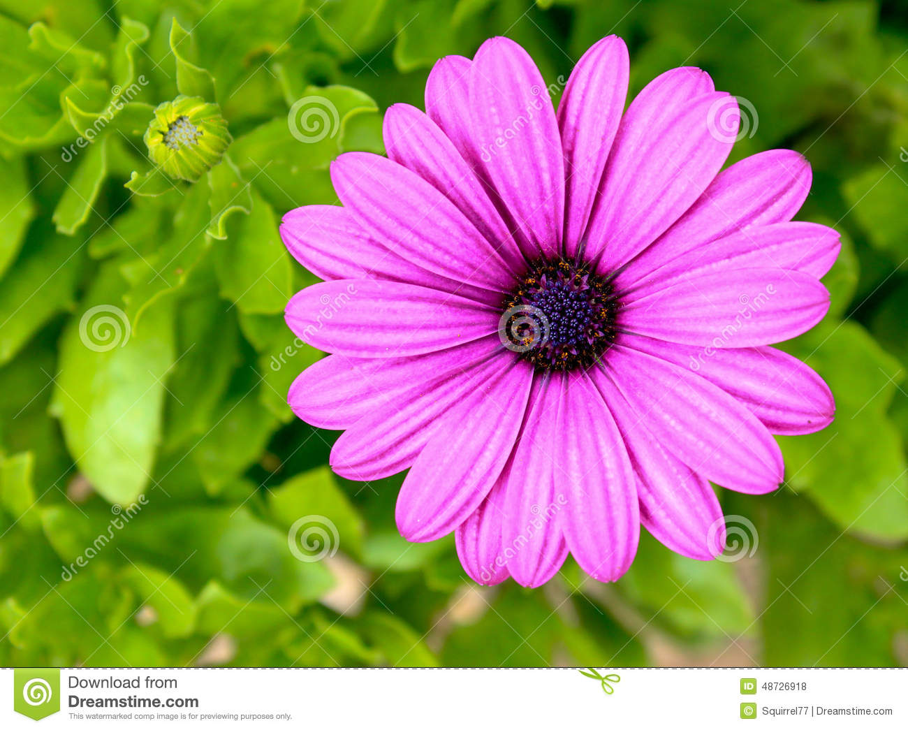 Pink and purple daisy flower against green foliage stock photo pink and purple daisy flower against green foliage izmirmasajfo