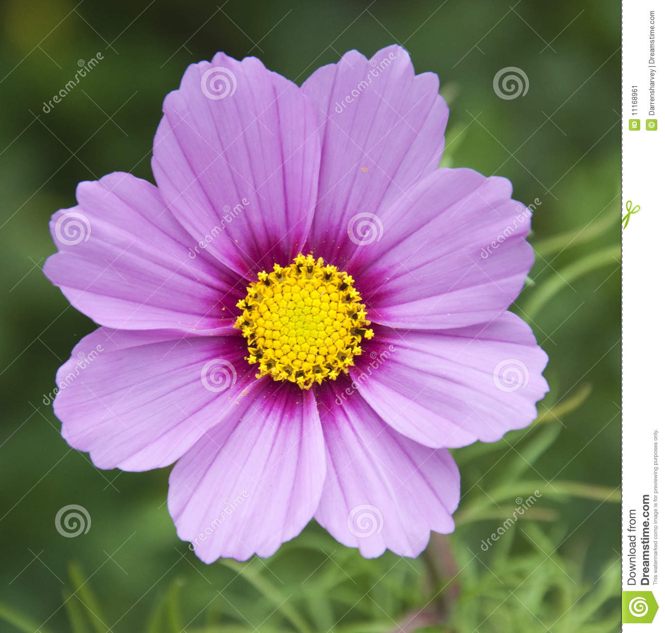 Pink and purple flower stock image image of meadow english 11168961 pink and purple flower mightylinksfo Choice Image