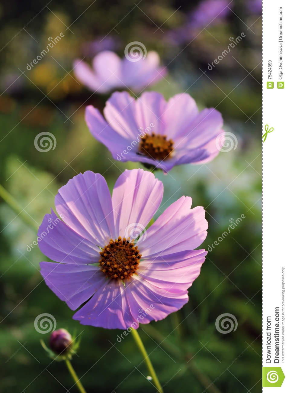 Pink Purple Flower Like A Daisy In The Light Of The Setting Sun
