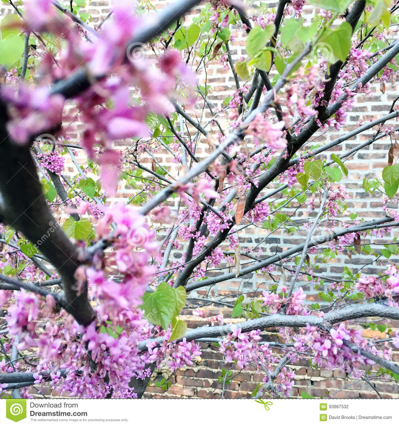 Pink And Purple Flowers On Branches Budding In Spring Stock Photo