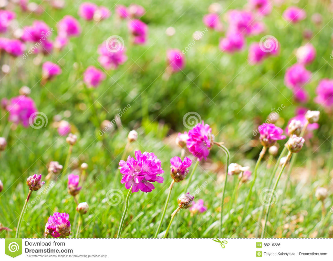 Pink Purple Flowers In The Green Grass Stock Photo Image Of