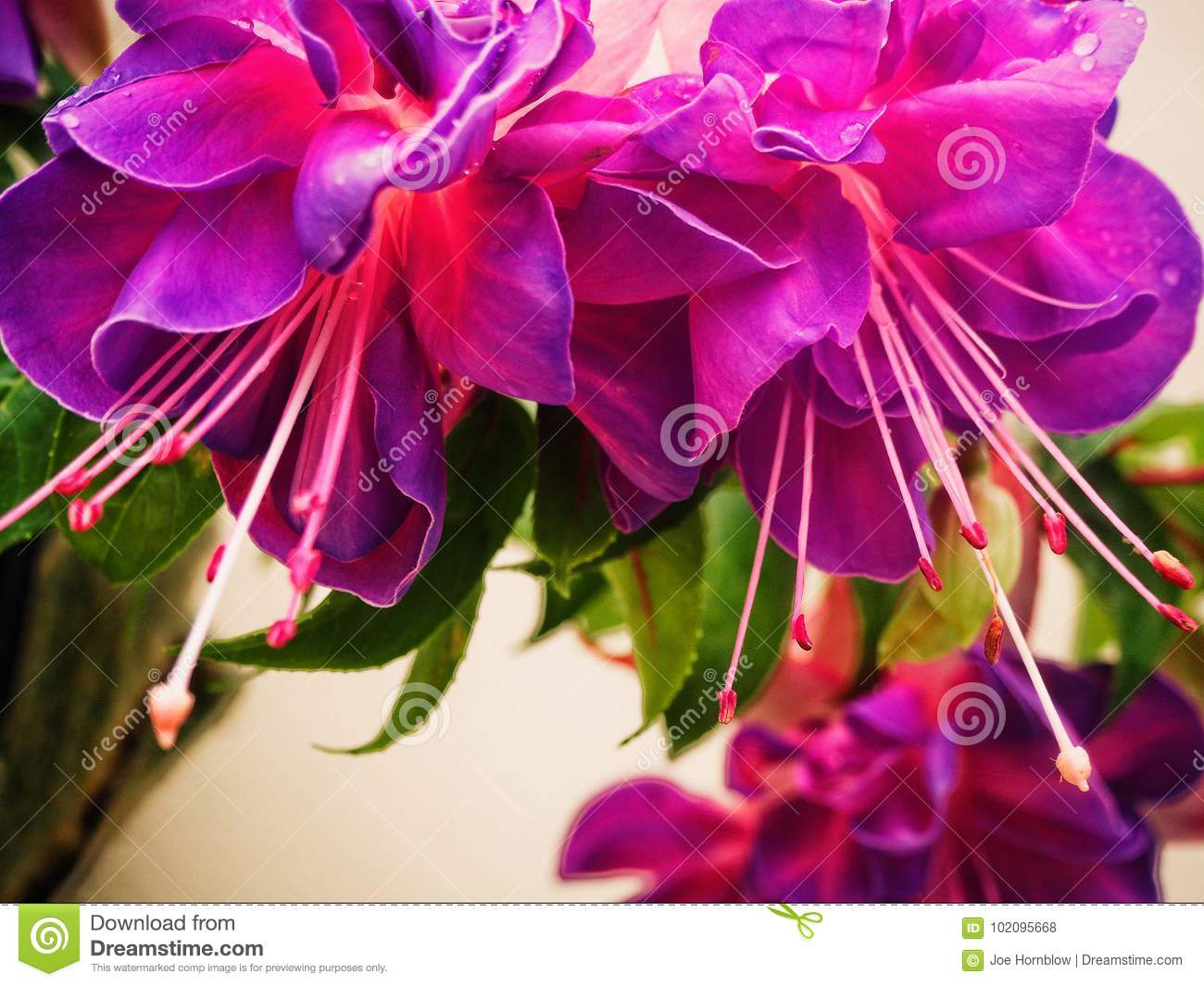 Pink And Purple Hanging Fuchsia Flowers Stock Photo Image Of