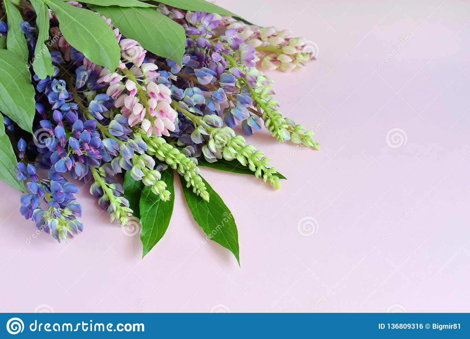 Pink and purple lupine flowers on pink background. Birthday, Mother`s day, Valentine`s Day, March 8, Wedding card or invitation.