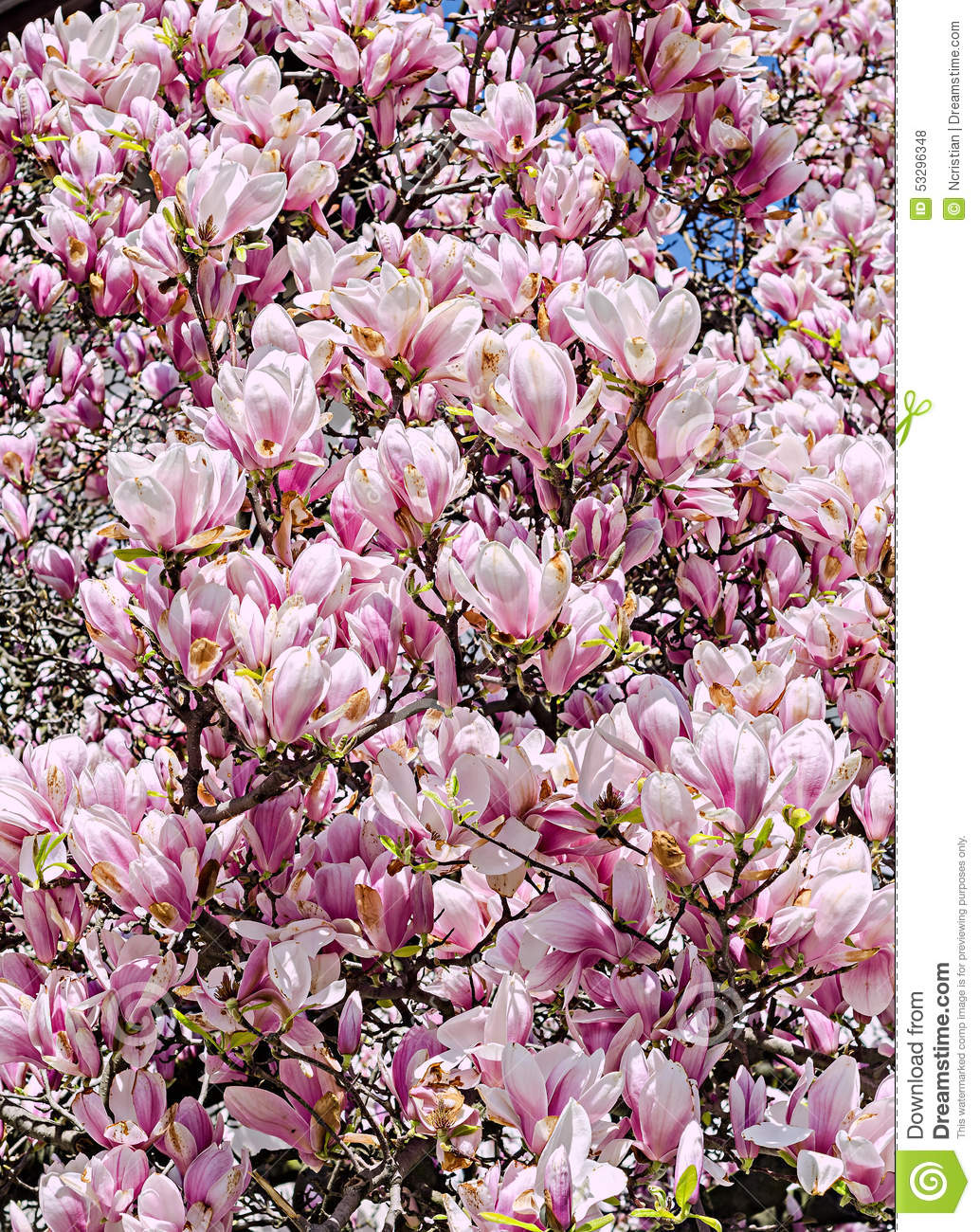 pink purple magnolia branch flower close up white. Black Bedroom Furniture Sets. Home Design Ideas