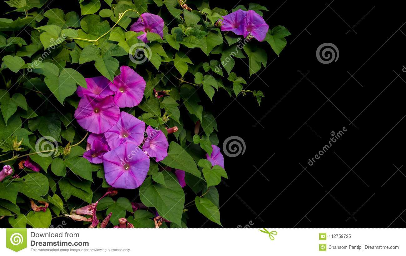 Pink Purple Morning Glory Flowers With Green Leaves Vines Climbi