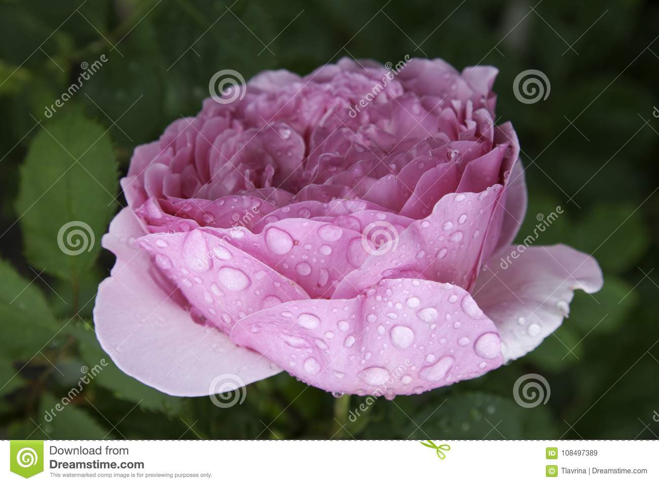Pink purple peony rose macro close up with big water drops on green background