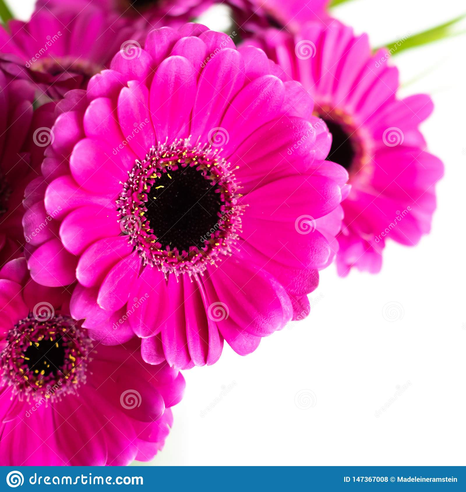 Pink/purple/violette Gerbera flower bouquet. Indoors with white background.