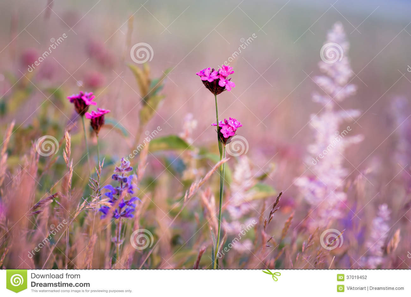 Pink and purple wildflowers stock photo image of morning blooming pink and purple wildflowers mightylinksfo