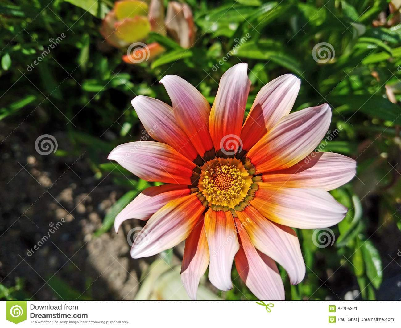 Pink Purple And Yellow Flower Up Close With Green Background 4k