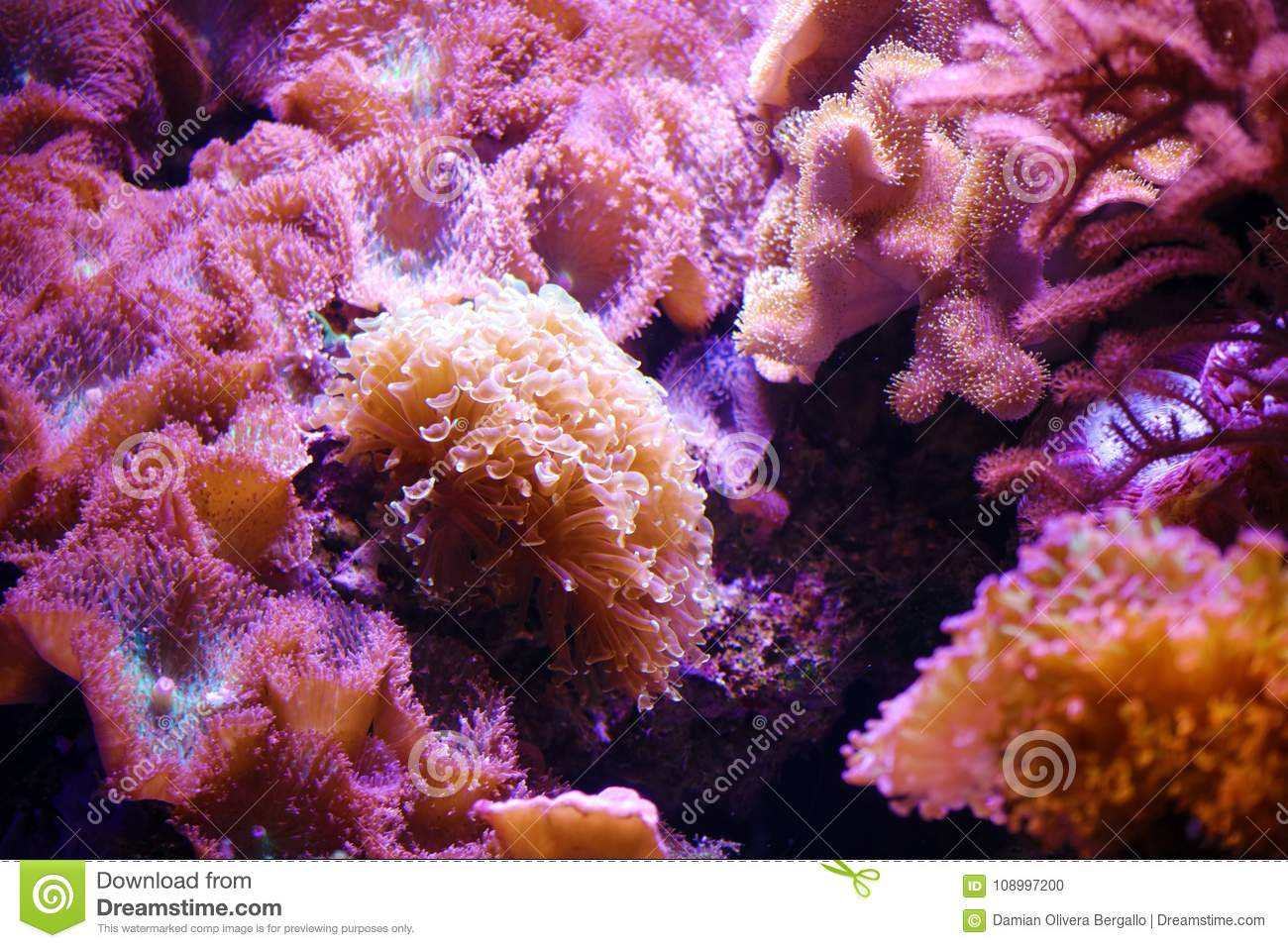 Pink purple yellow and orange reef coral