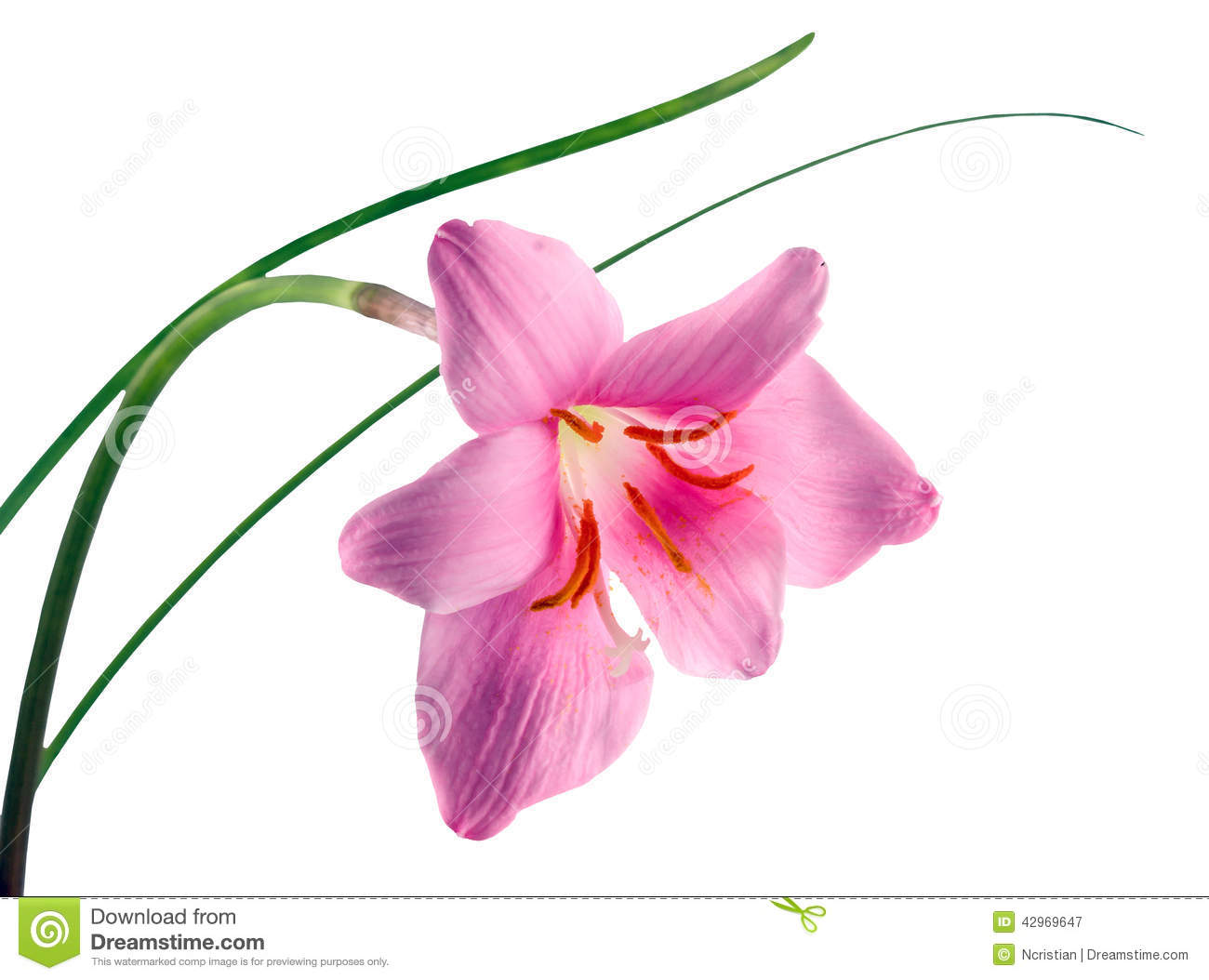 Pink Purple Zephyranthes Flower Stock Image Image Of Names