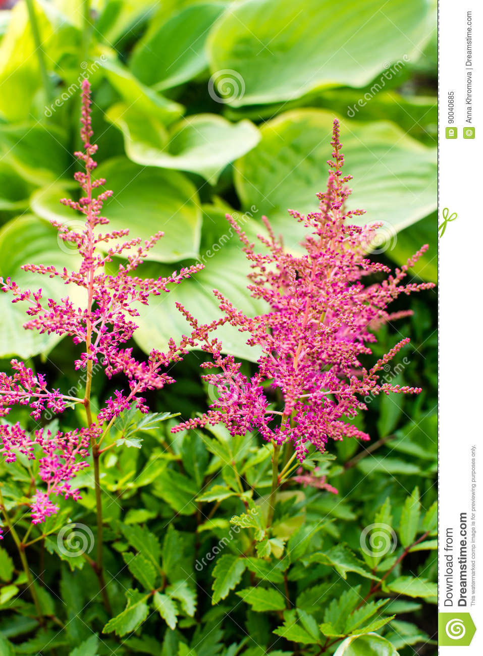 Pink And Red Astilbe Flowers And Green Leafs Of Hosta Plant Stock