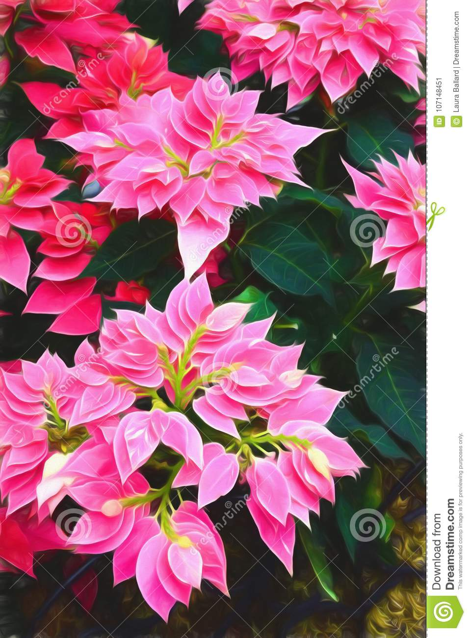 Pink And Red Colored Poinsettia Flowers Stock Image Image Of