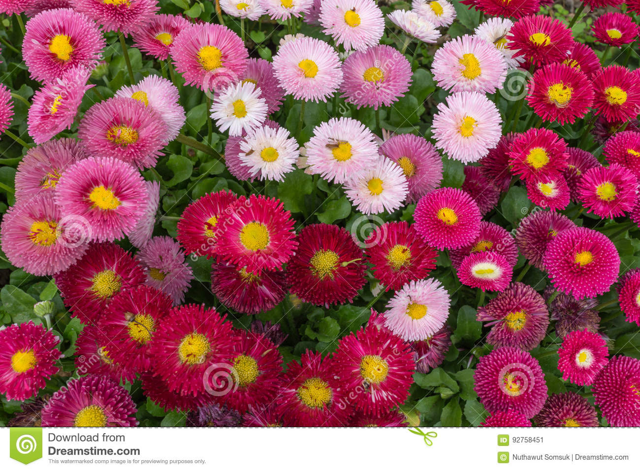 Pink and red english daisy flower in outdoor park day light stock pink and red english daisy flower in outdoor park day light izmirmasajfo