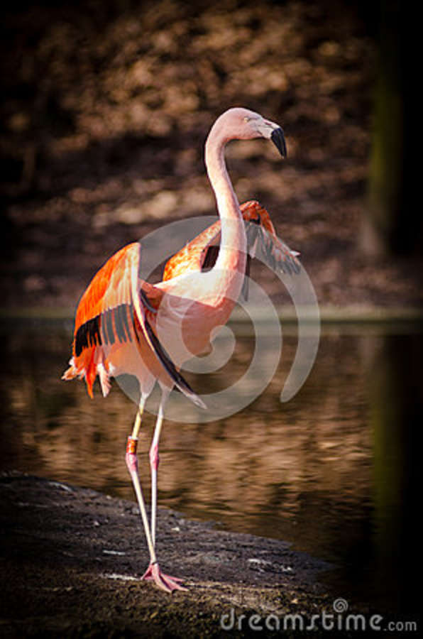 Download Pink And Red Flamingo Standing Near Body Of Stock Image - Image of plumage, photo: 85134175