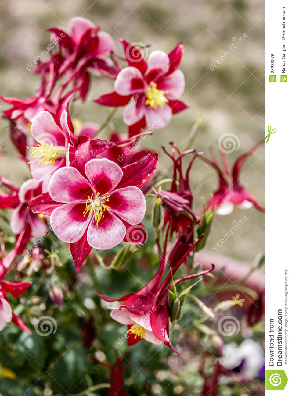 Pink And Red Flower Bush And Yellow Center Stock Photo Image Of