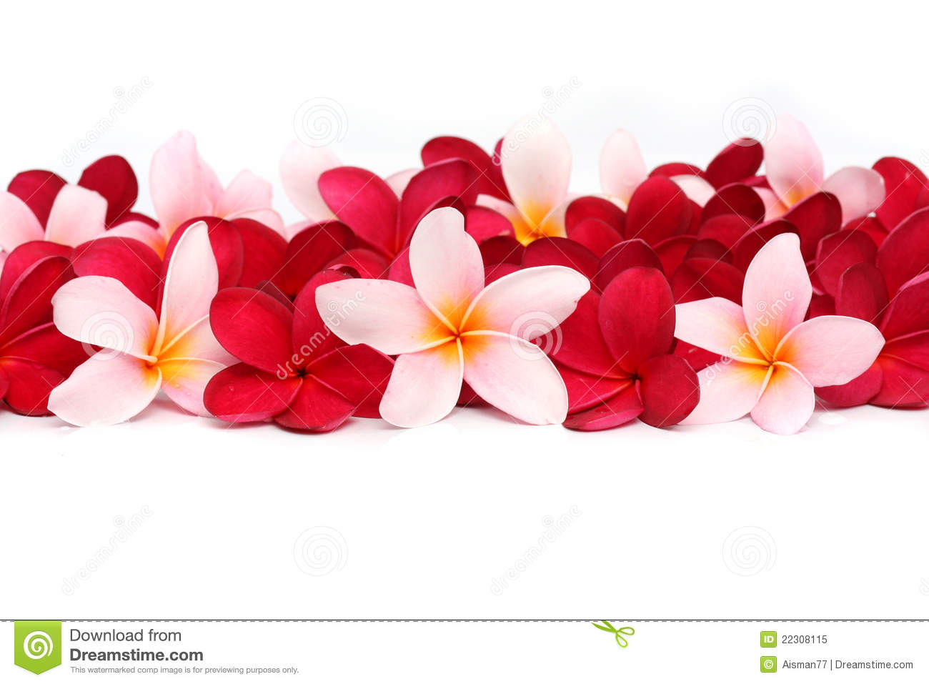 Pink And Red Frangipani Plumeria Flower Stock Image - Image of bloom ...