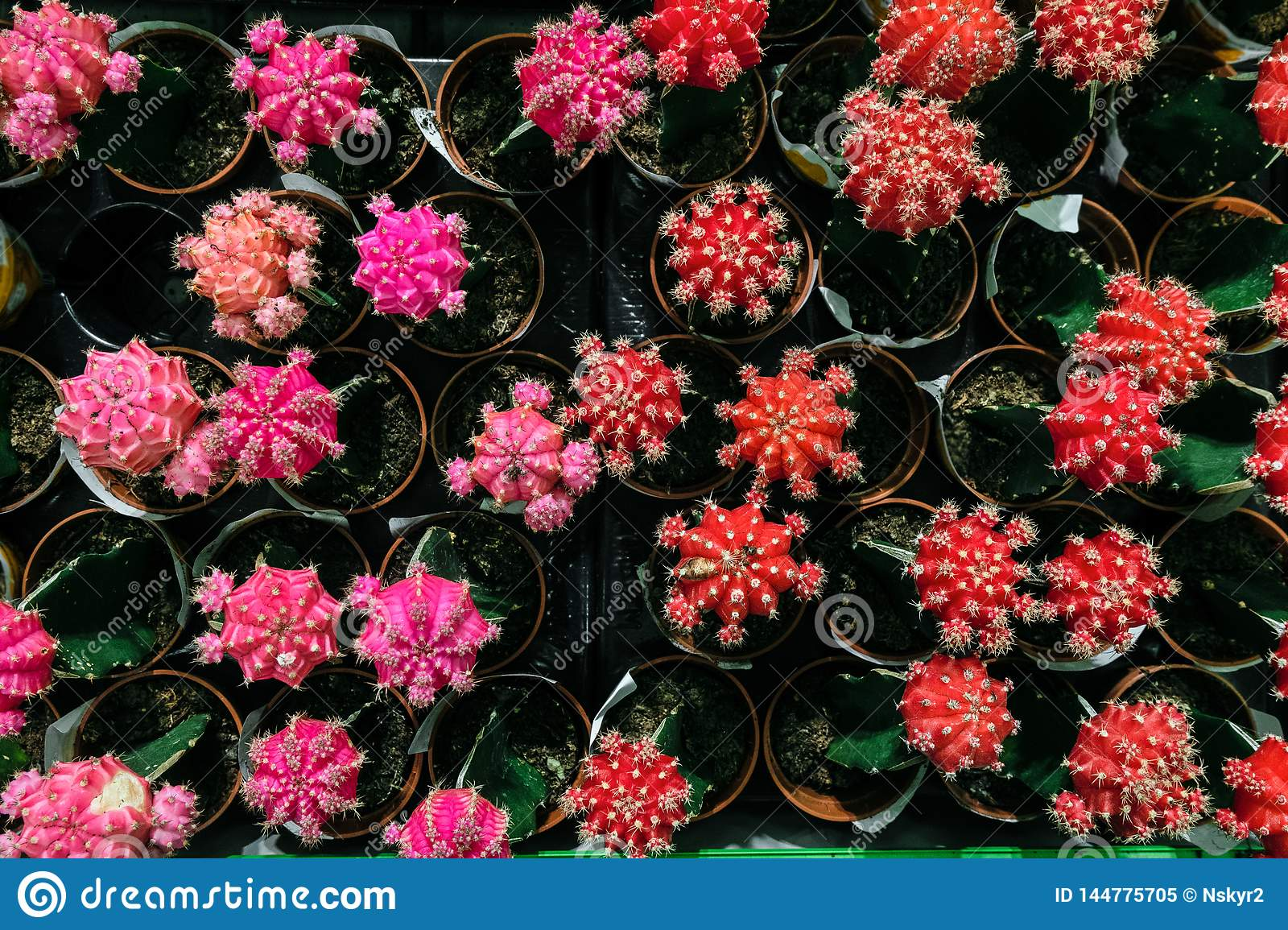 Pink and red Gymnocalycium cactus flowers in pots. Indoor ornamental plant.