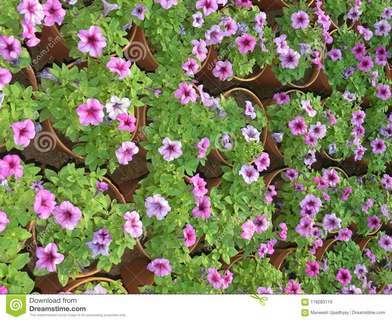 Many Pink And Purple Color Petunia Flowers In Flower Pots Stock ...