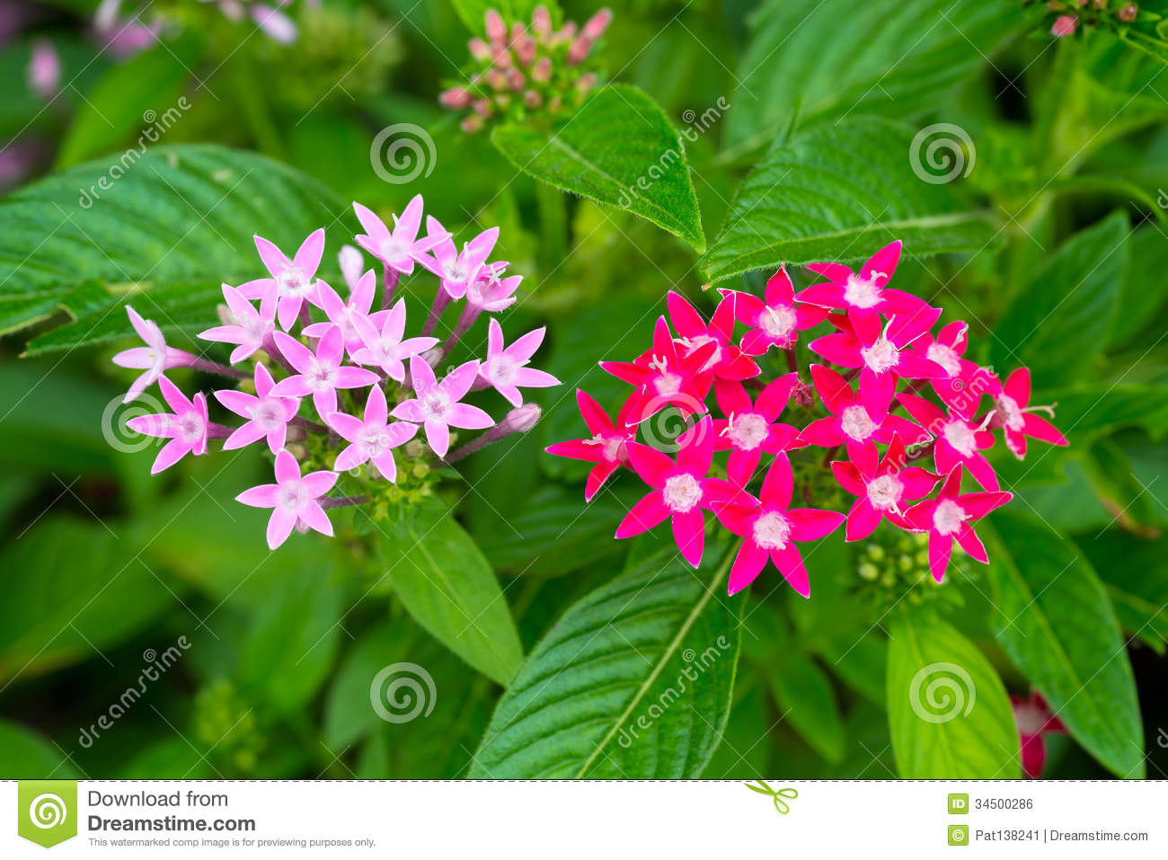 Pink Red Star Cluster Flowers Stock Photo Image Of Blooming