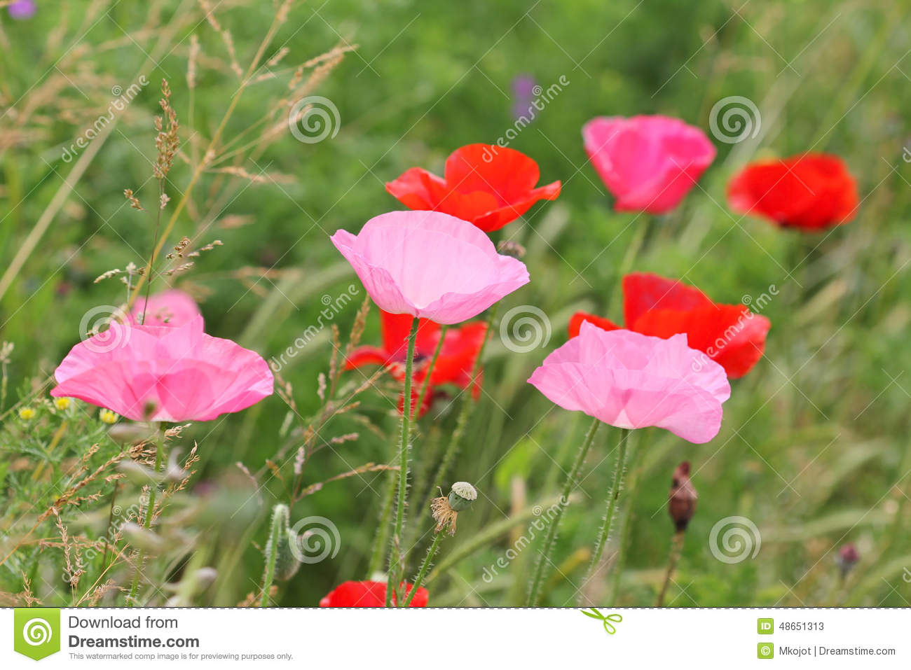 Pink And Red Wild Poppy Flowers Stock Image Image Of Poppy