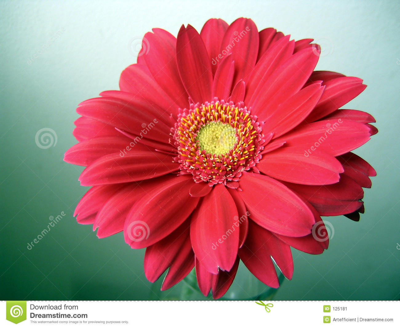 Pink Red With Yellow Center Gerbera Close Up Stock Image Image Of