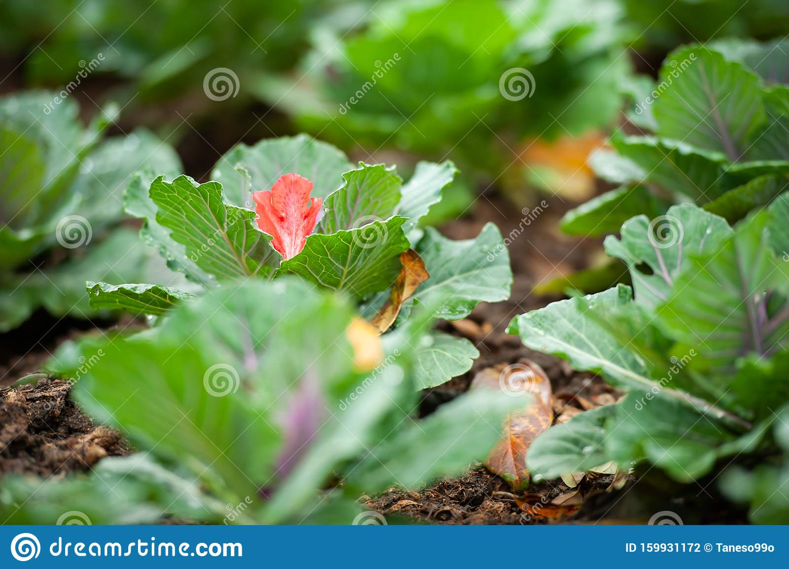 Pink Rhododendron Flower Falling On Cabbage Stock Photo Image Of