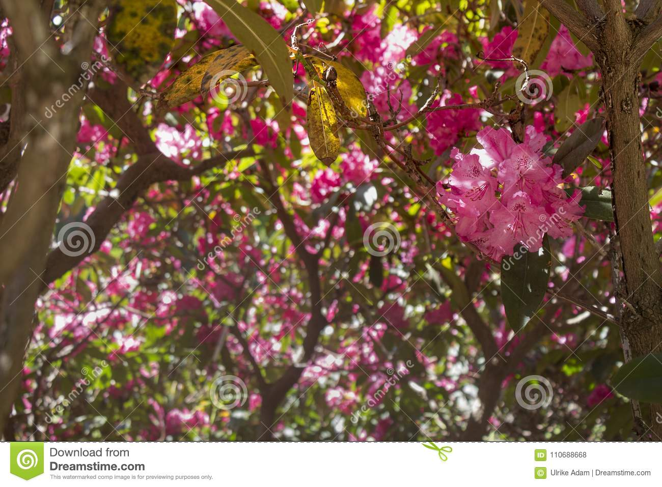 Pink Rhododendron Tree With Flowers On Branch Stock Photo Image Of