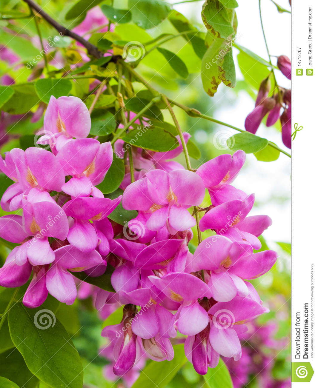 Pink robinia flowers stock image image of false blooms 14713707 pink robinia tree locust flowers close up mightylinksfo