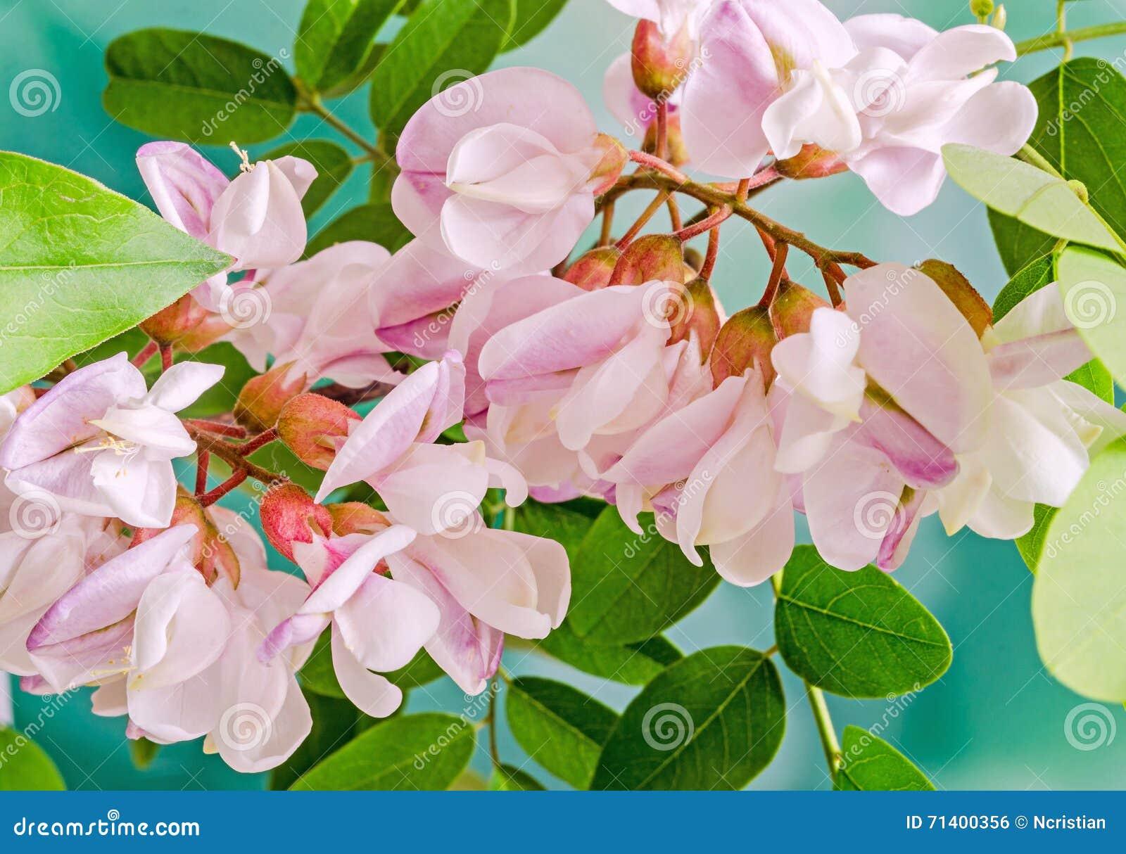 Pink Robinia Pseudoacacia Tree Flowers Know As Black Locust Ge