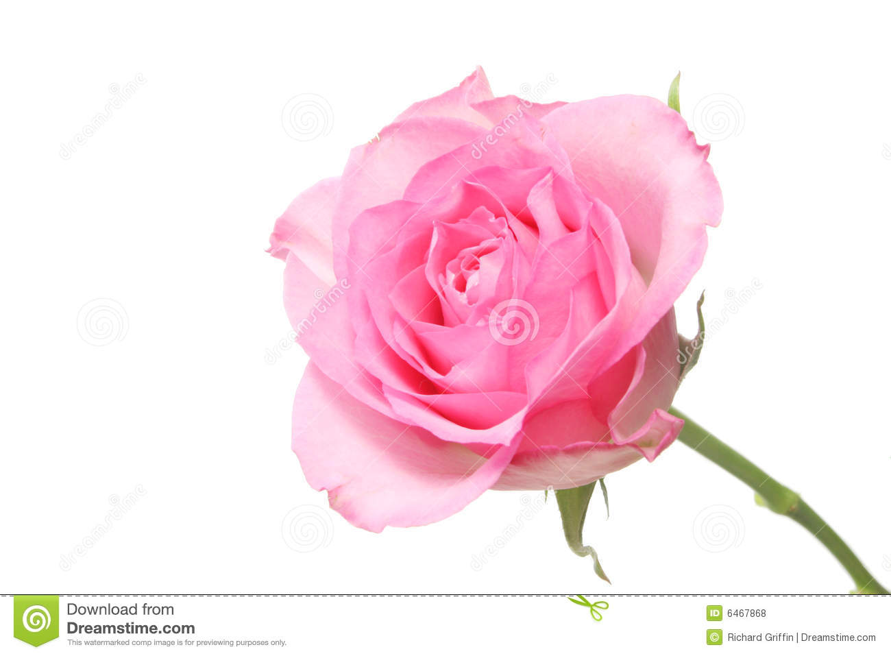 Single Pink Rose Stem