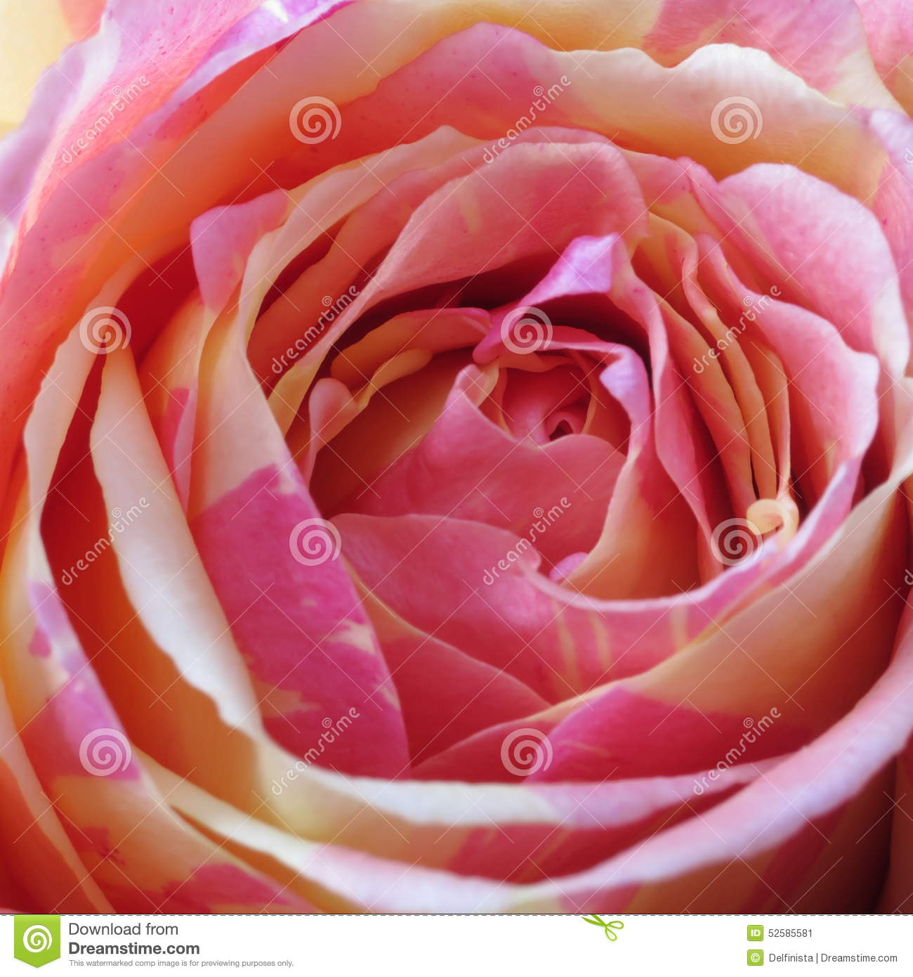 Pink Rose Background - Flower Stock Photos