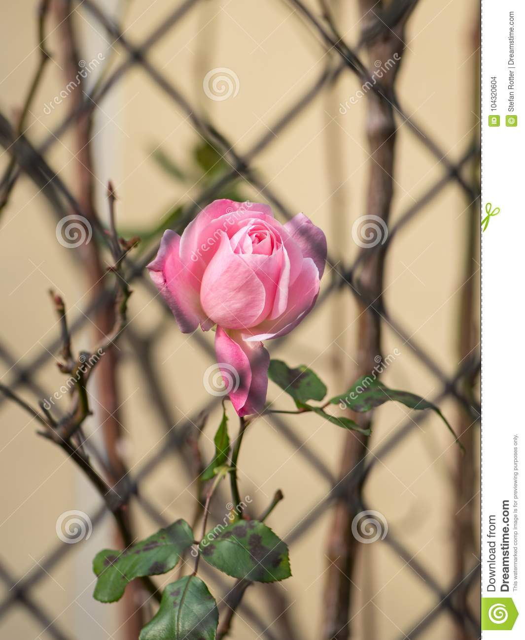 A pink rose behind an iron fence