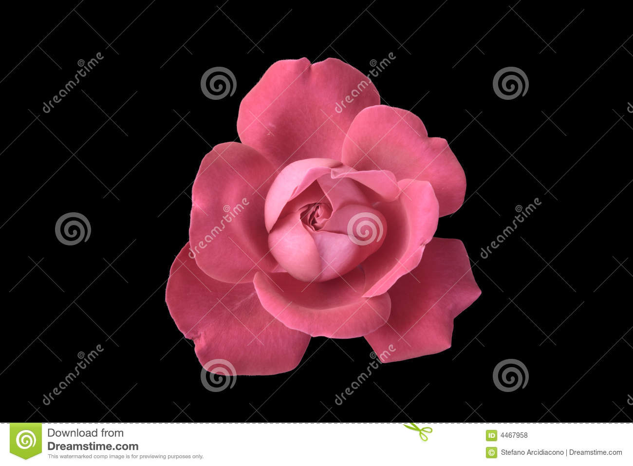 Pink Rose On Black Background Royalty Free Stock Photos