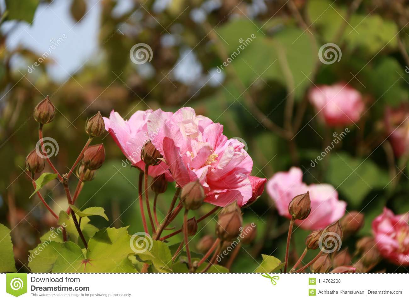 Pink rose blooming on the tree a prickly bush or shrub that download comp mightylinksfo
