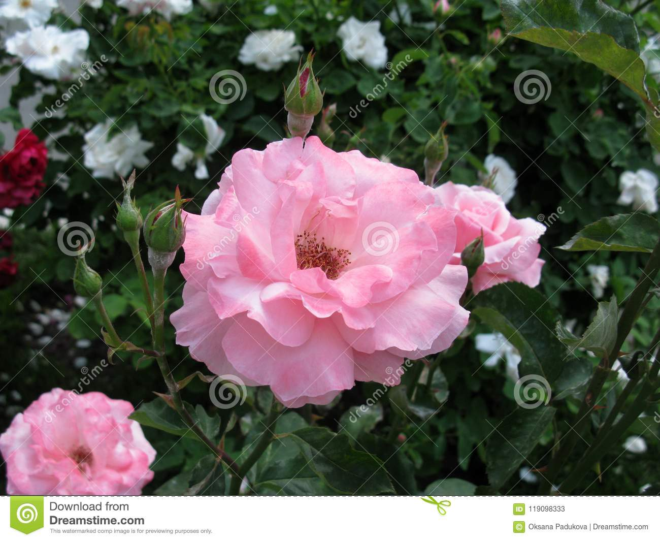 pink and wight roses in a garden stock image image of garden