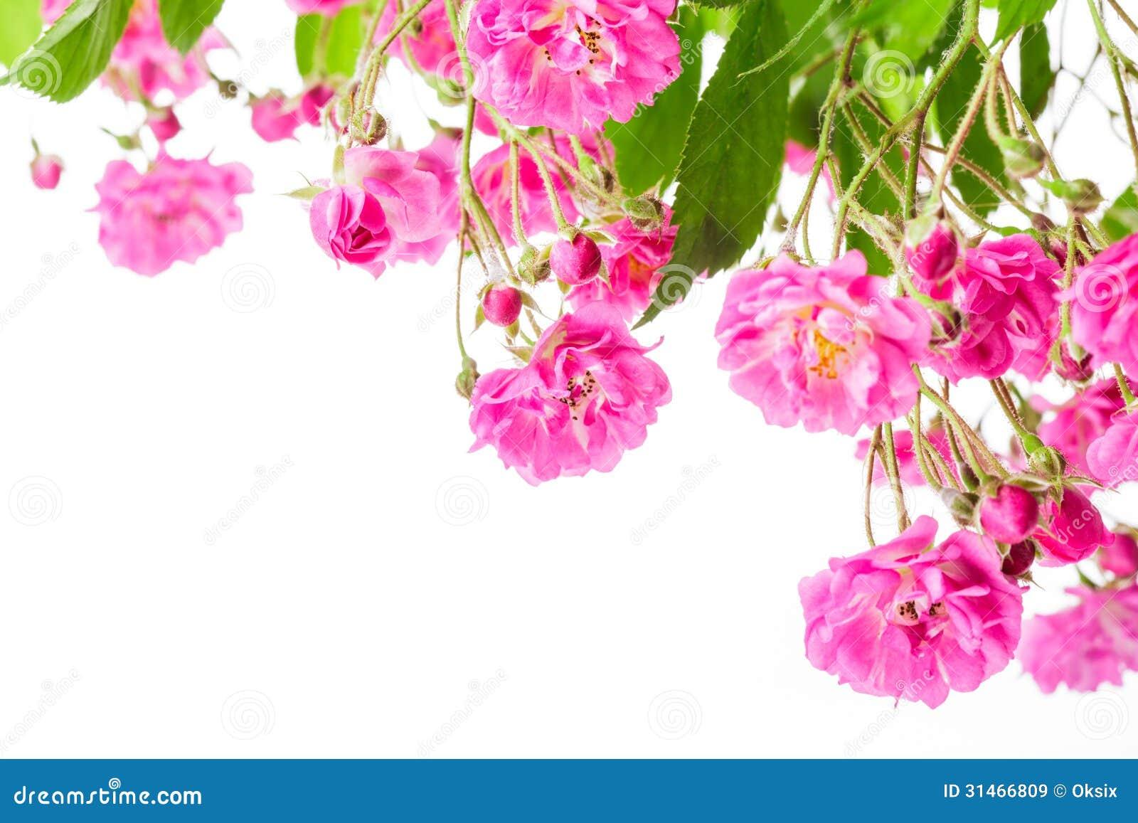 Pink Rose Bush Stock Image Image Of Flower Isolated