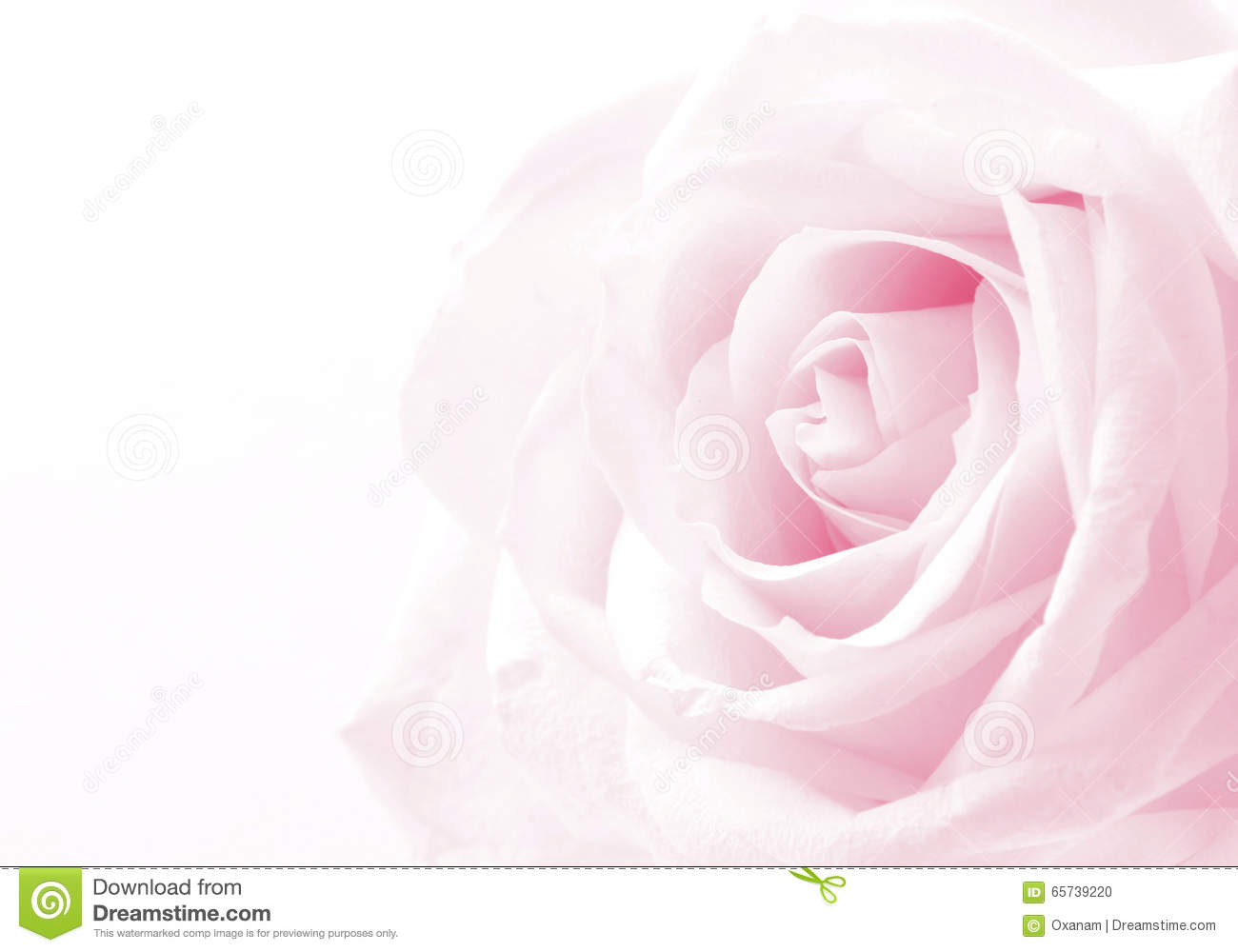 Pink Rose Close Up As Wedding Background Soft Focus Stock Photo