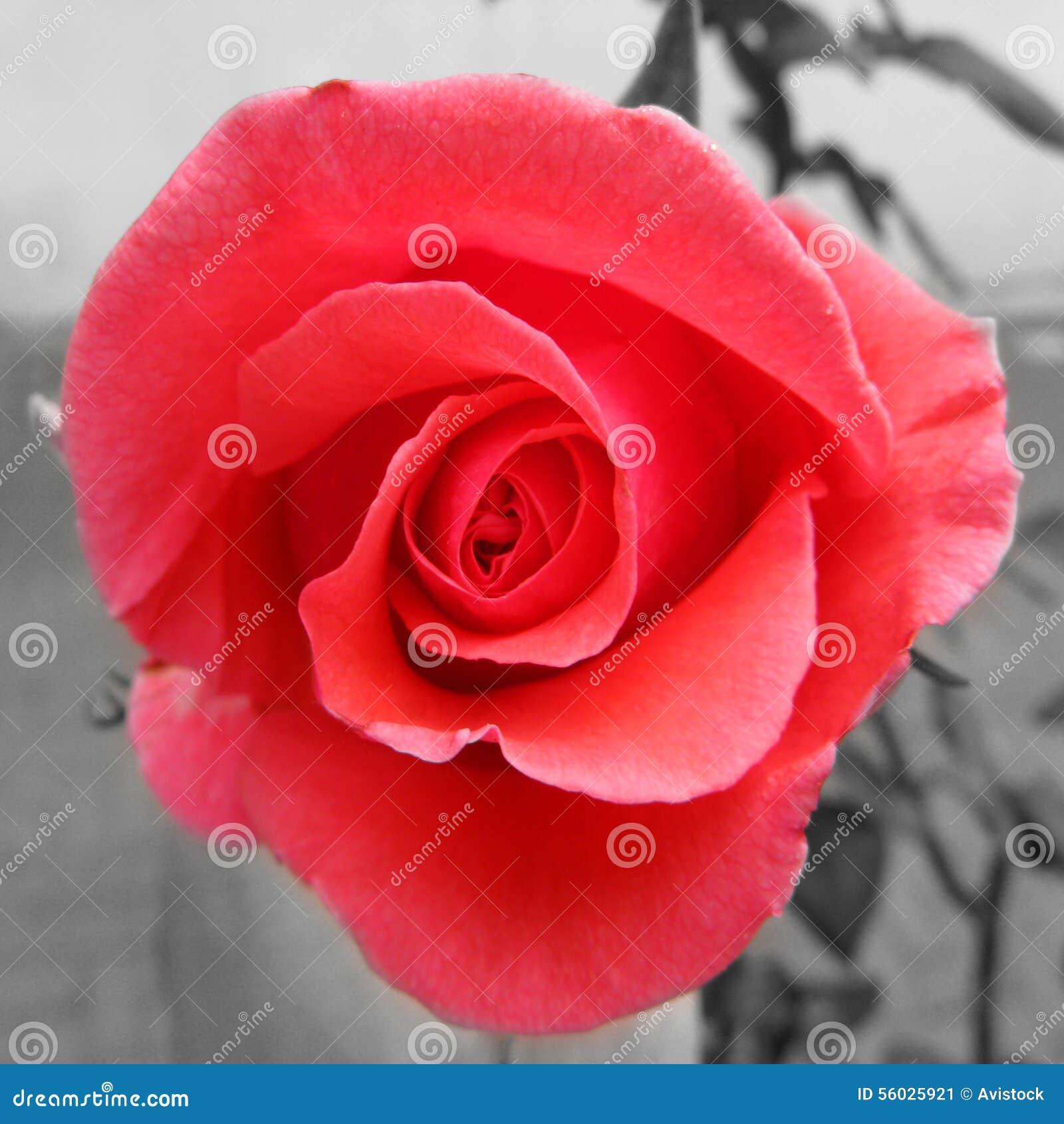 Pink Rose Color Splash