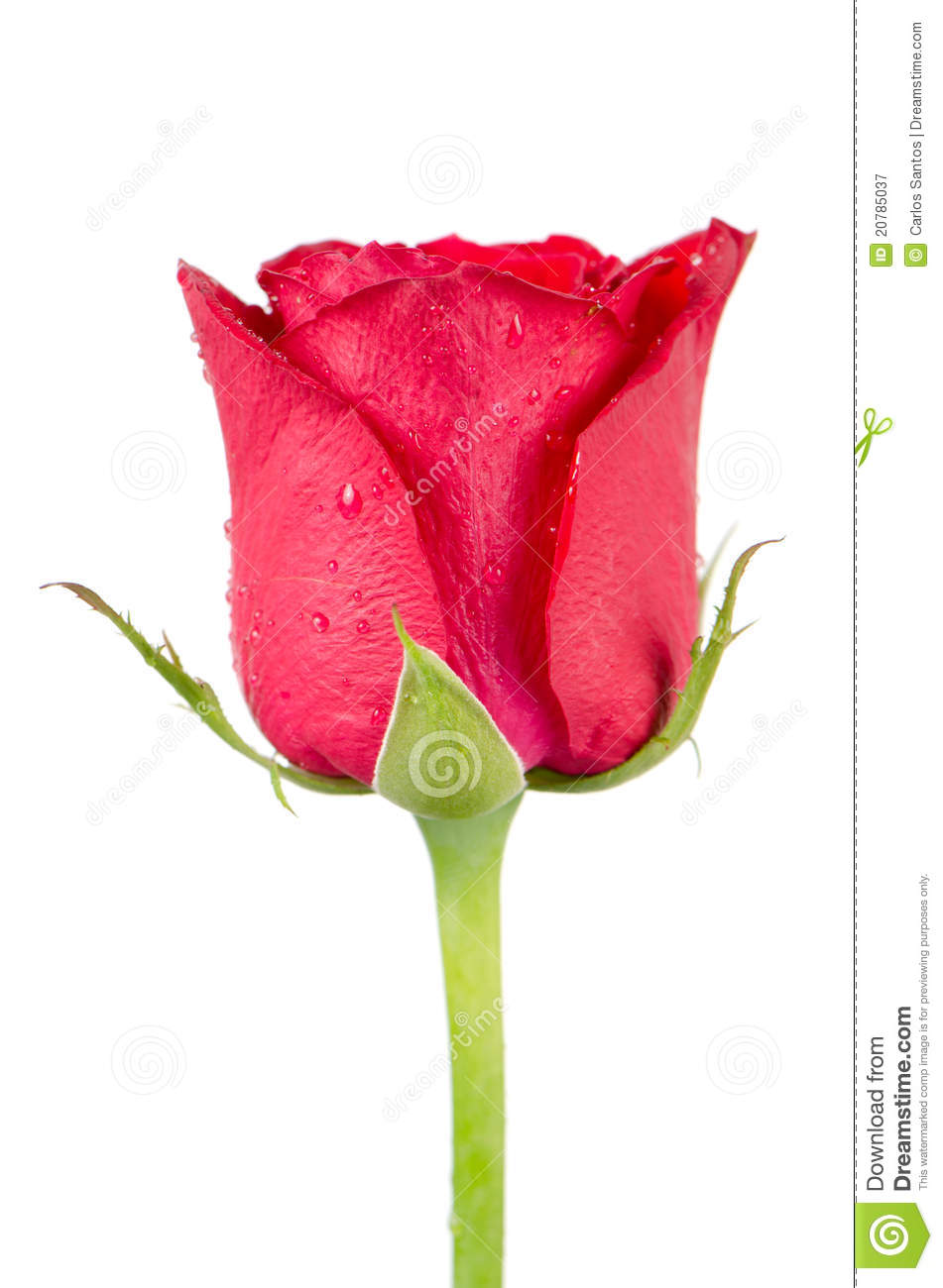 Pink rose flower stock image image of perfume passion 20785037 pink rose flower mightylinksfo
