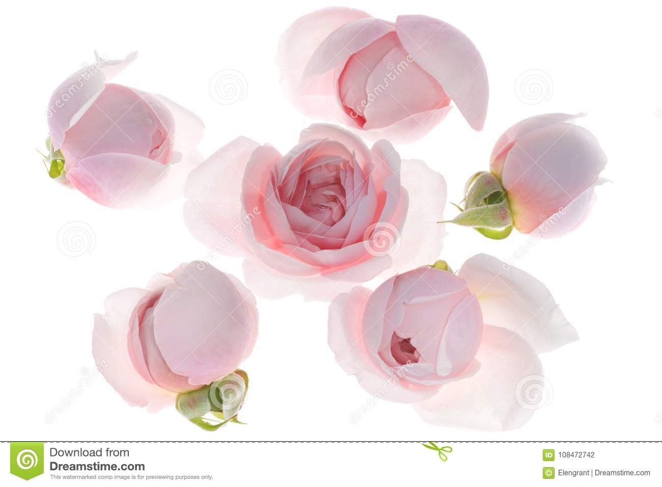 Pale Pink Rose Flower Blossoms Background Stock Photo Image Of