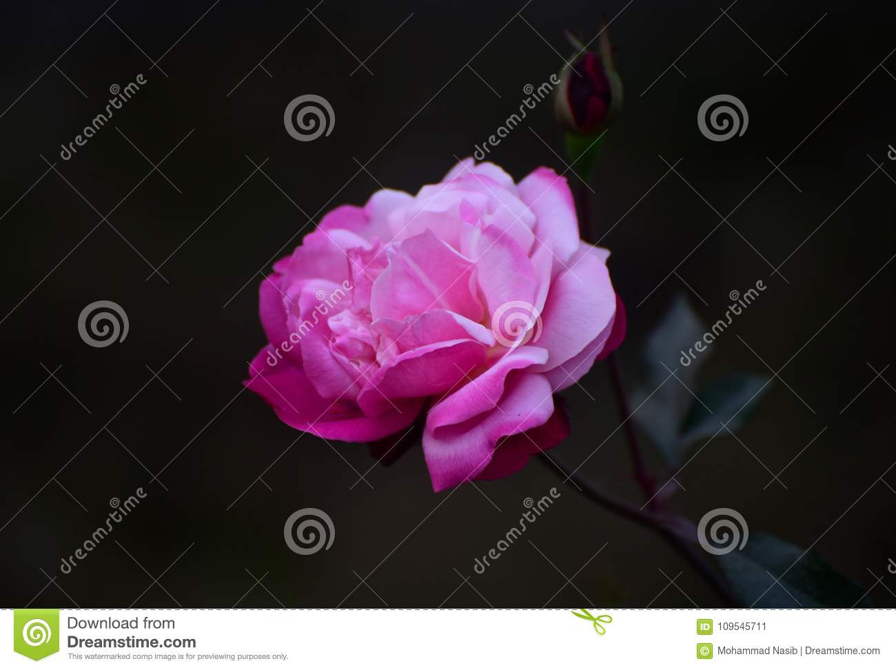 Pink rose flower with dark background photograph stock image image the beautiful pink coloured rose flower with a dark background unique stock photograph izmirmasajfo
