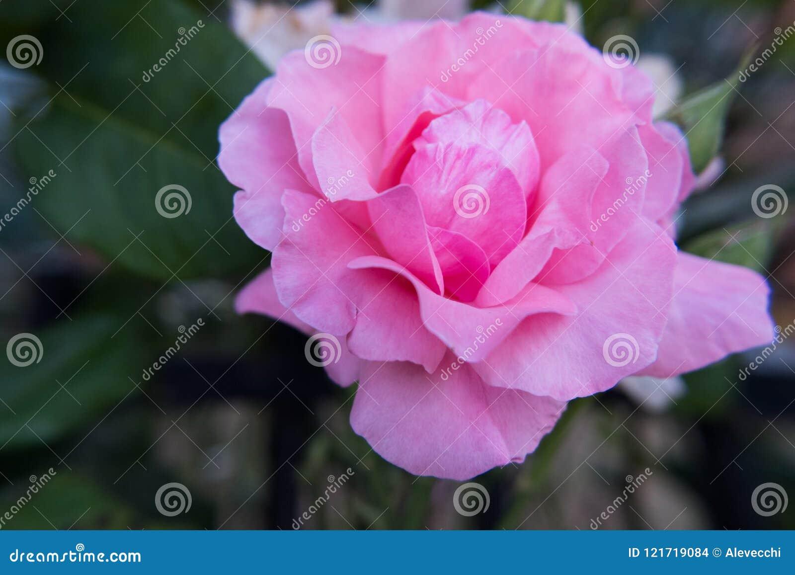 Light Pink Rose Flower Stock Photo Image Of Autumn 121719084