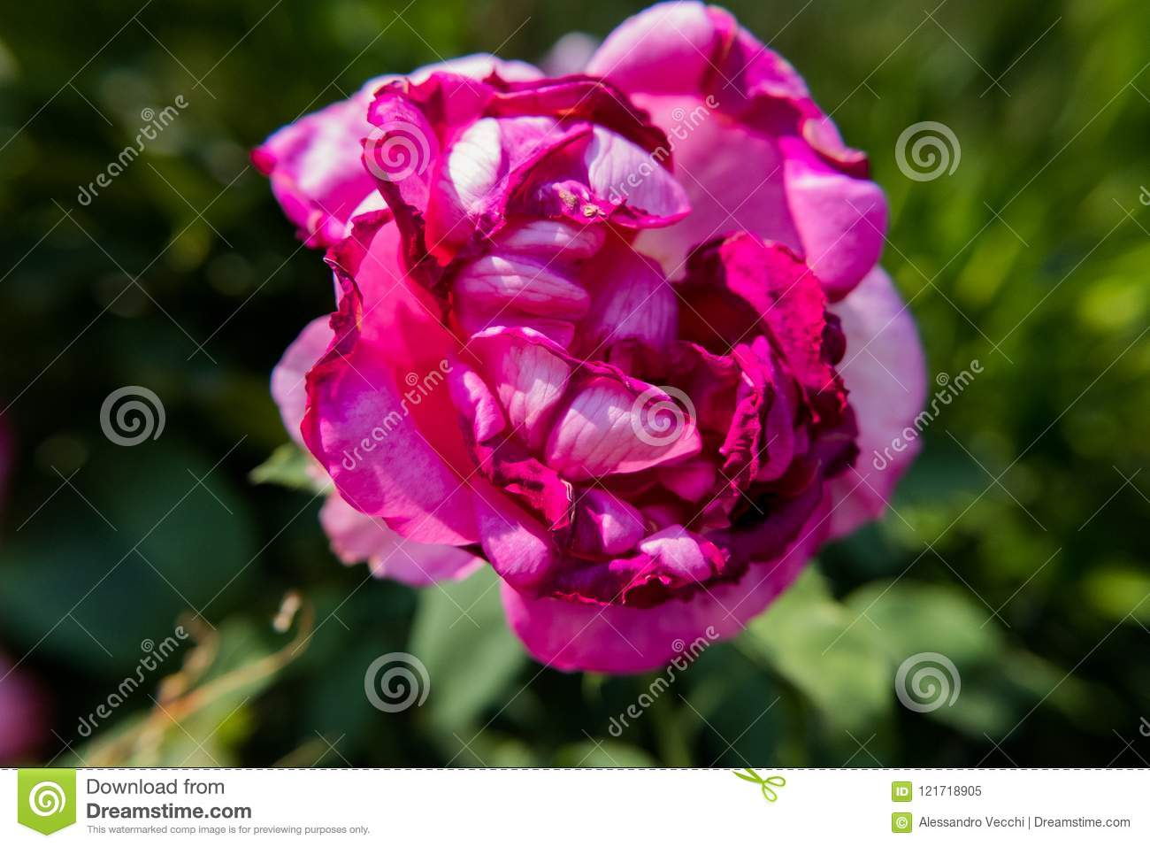 Pink Rose Flower With Dark Edges Stock Image Image Of Closeup