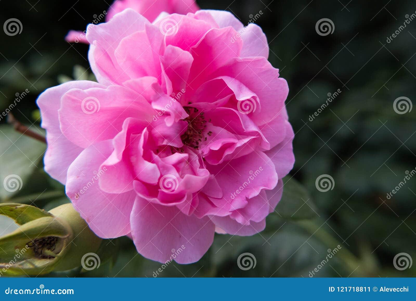 Pink rose flower wallpaper stock image image of close beautiful download pink rose flower wallpaper stock image image of close beautiful 121718811 mightylinksfo