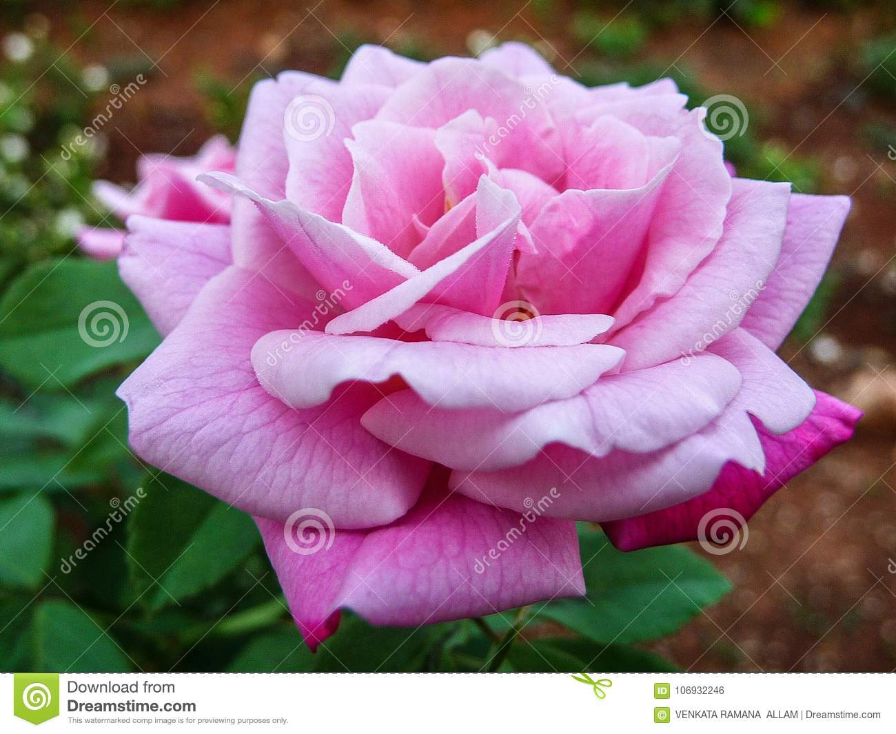 The Pink Rose Stock Photo Image Of Rose There Beautiful 106932246