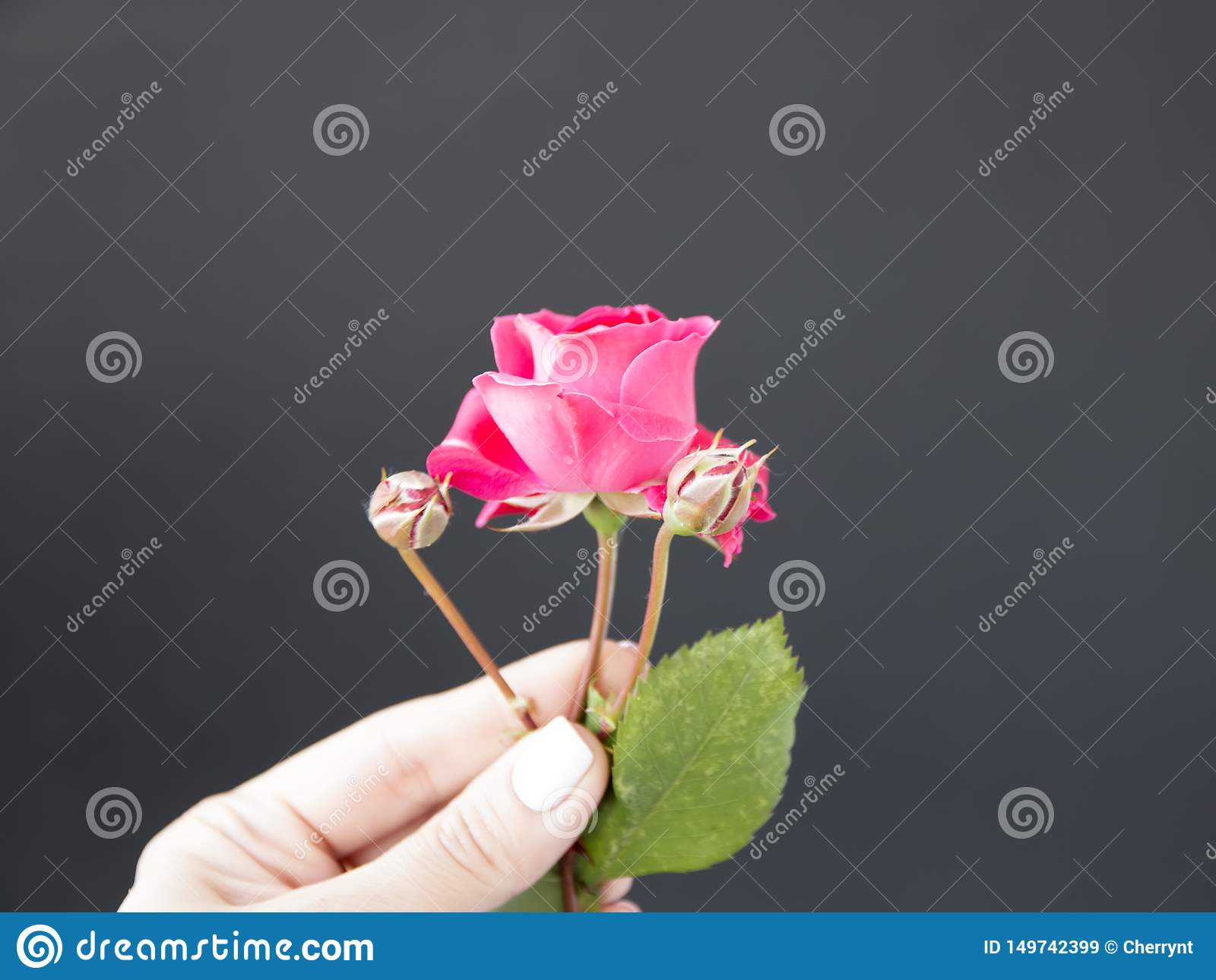 Pink rose in hand against, a black background