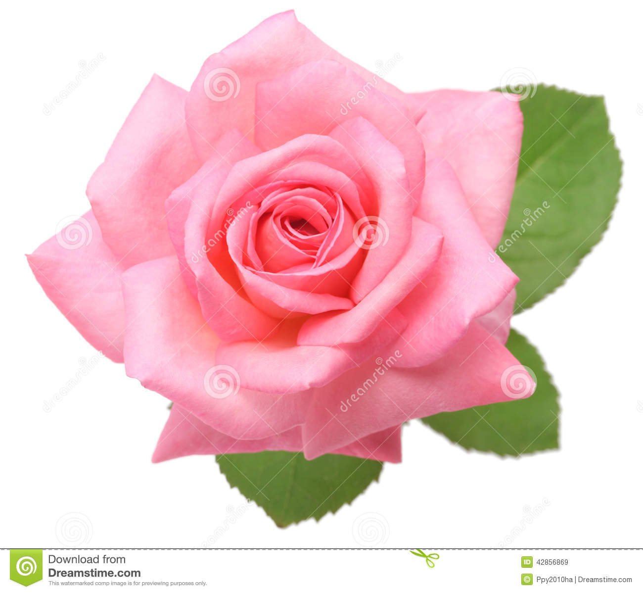 Pink Rose With Leaves Stock Image Image Of Celebration