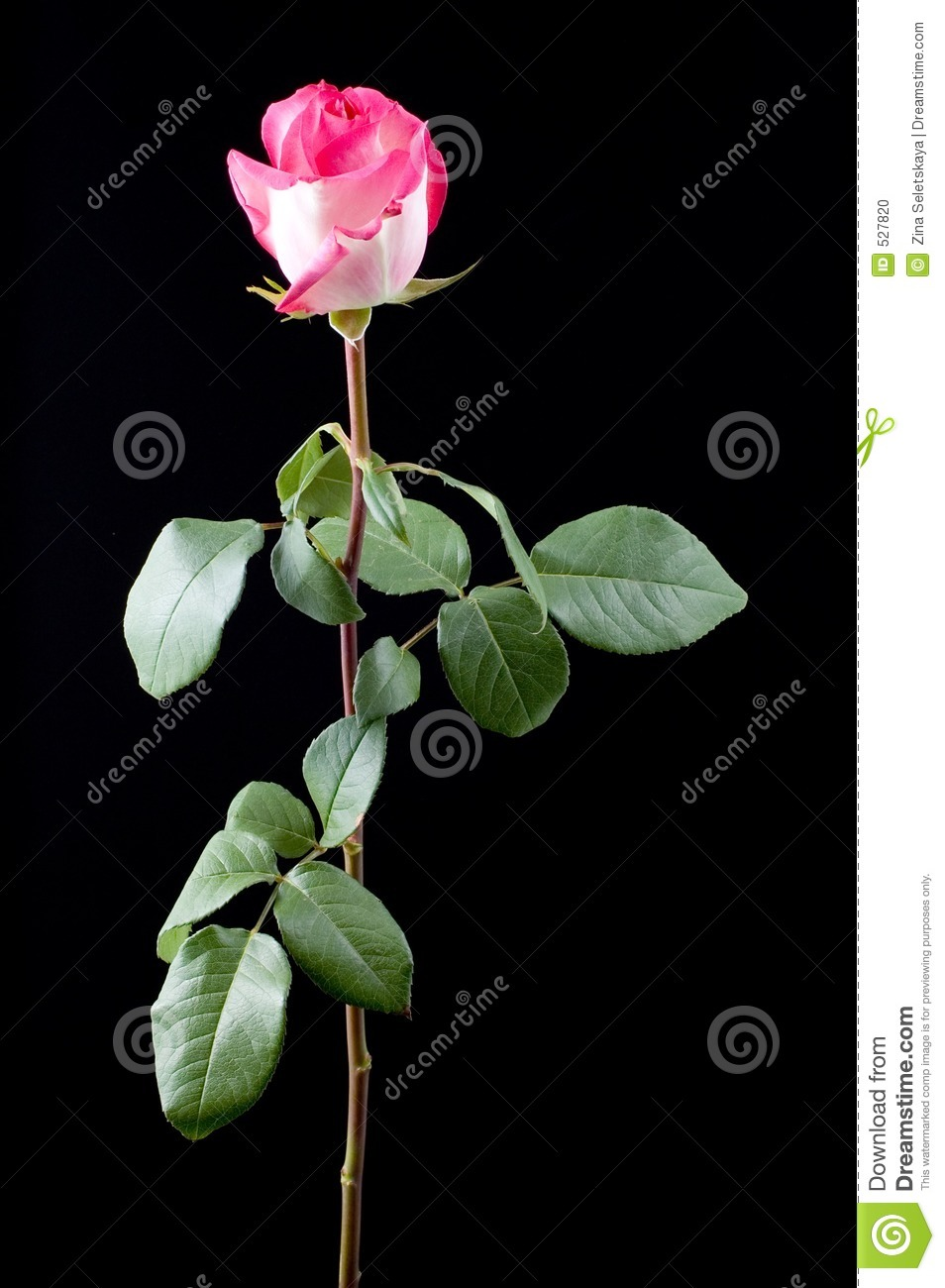 More similar stock images of ` Pink rose with long stem `