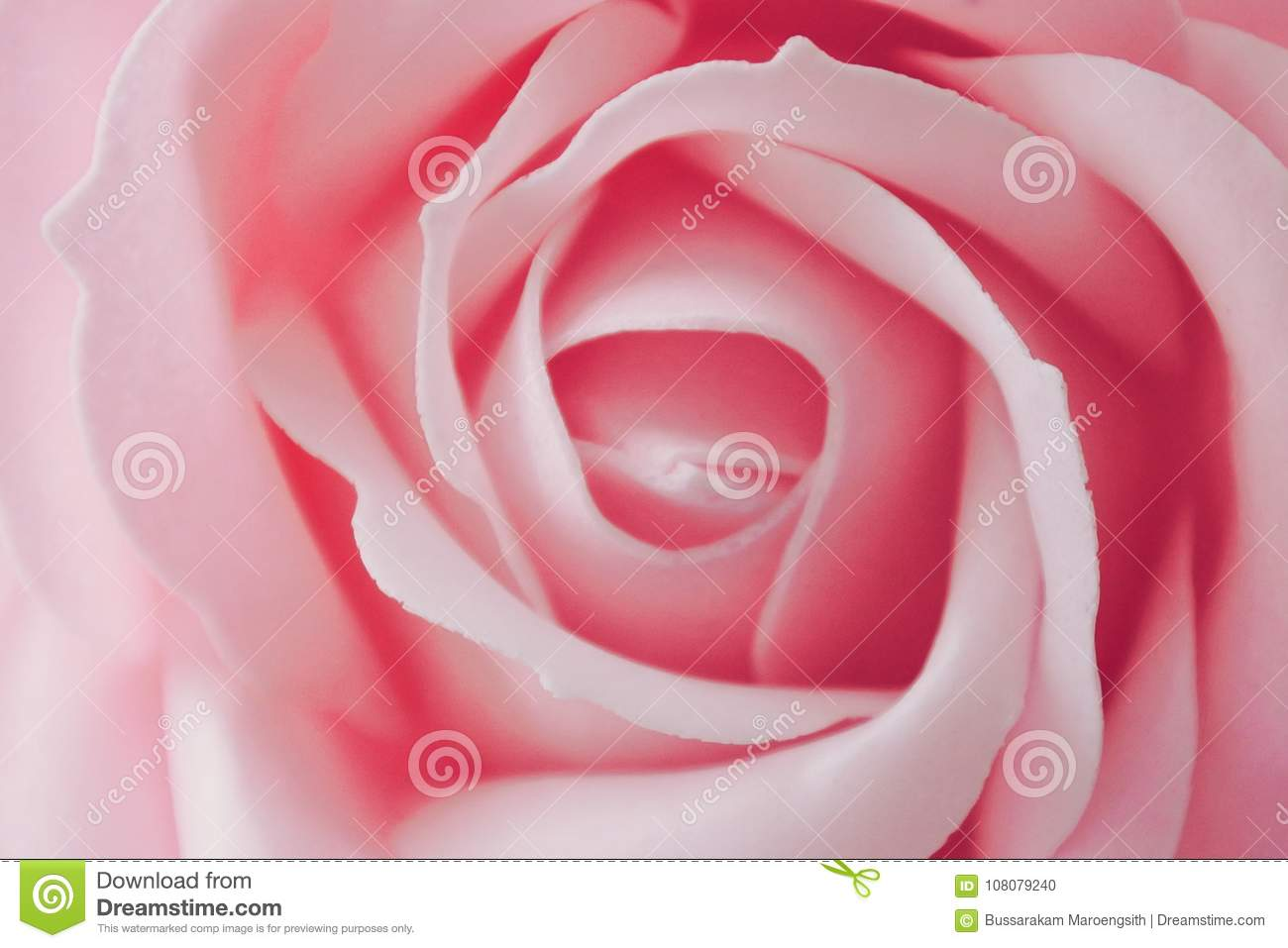 The Pink Rose Stock Photo Image Of Closeup Marriage 108079240